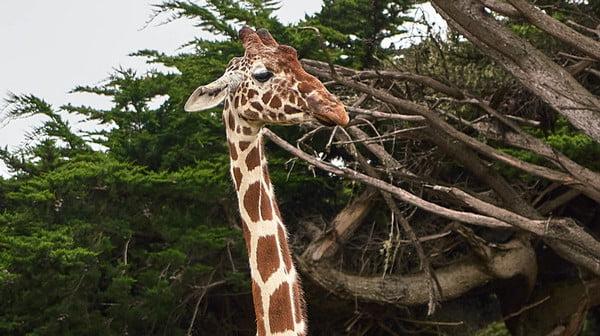 Bones in Giraffe