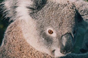 koalas eat what