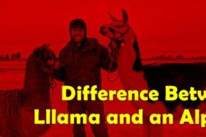 llama and an alpaca